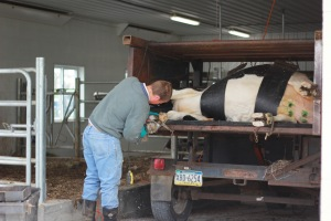 even cows need their nails trimmed :)